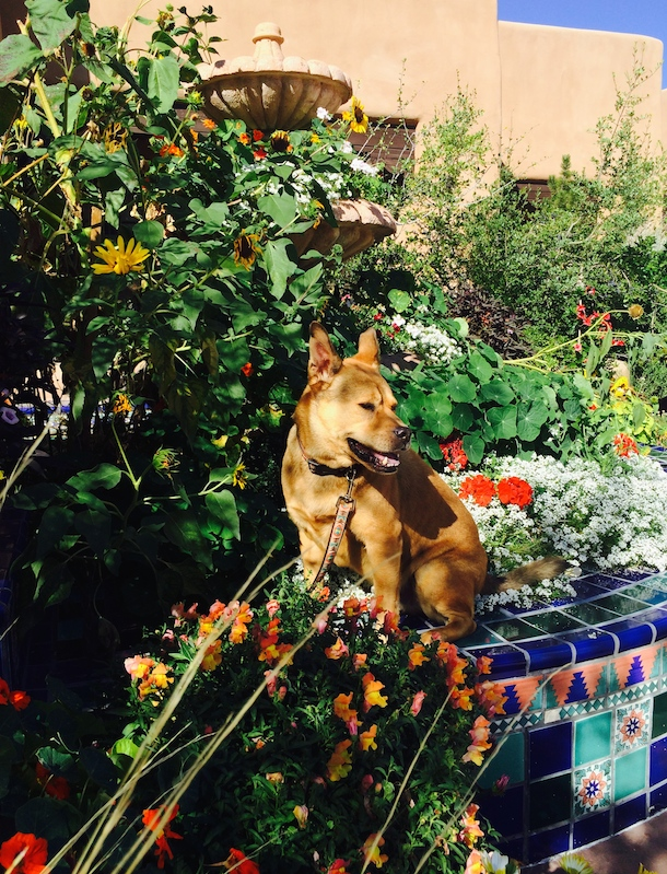 Bodie on the roof terrace at La Fonda dog-friendly Santa Fe