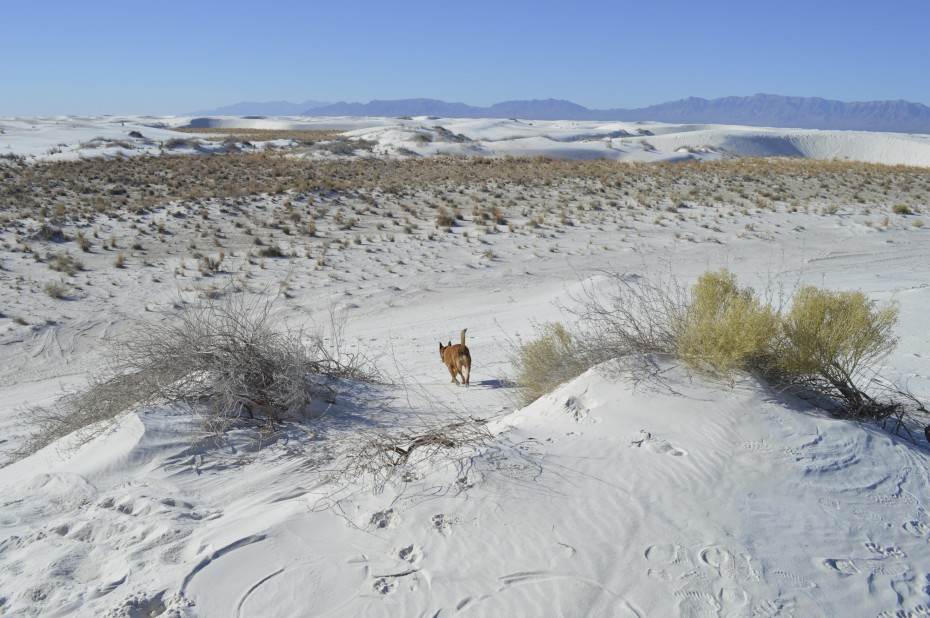 Tan dog explores the dog-friendly White Sands National Monument - vast white landscape with grasses