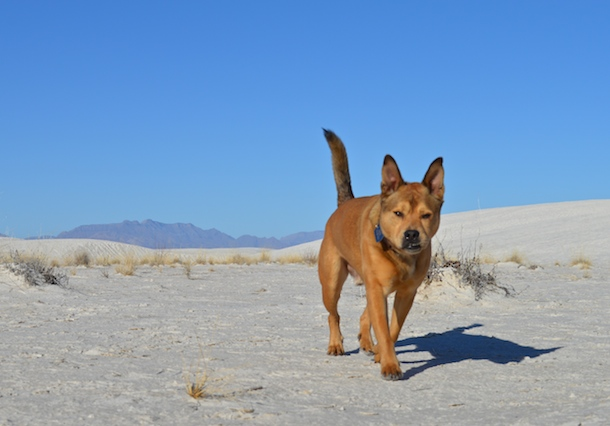 Tan dog walking towards the camera at White Sands National Monument