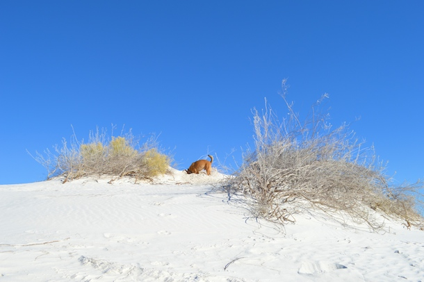 Digging at Dog-Friendly White Sands NM