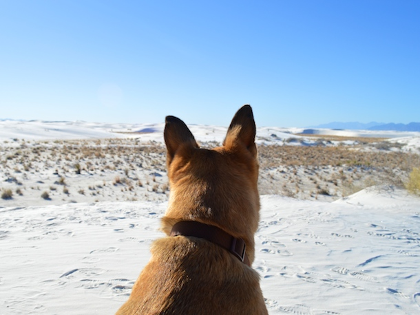Tan dog looks out over dog-friendly White Sands National Monument, NM