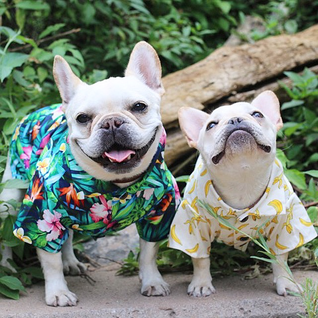 Two white Frenchies in tropical shirts