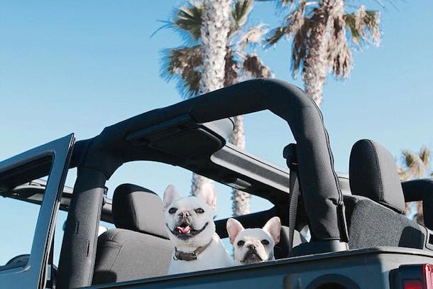 Weston-Fira-WTFrenchie-jeep-palm-trees