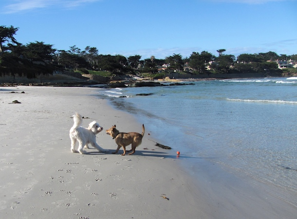 bodie-white-dog-carmel-summer-fitness-with-fido