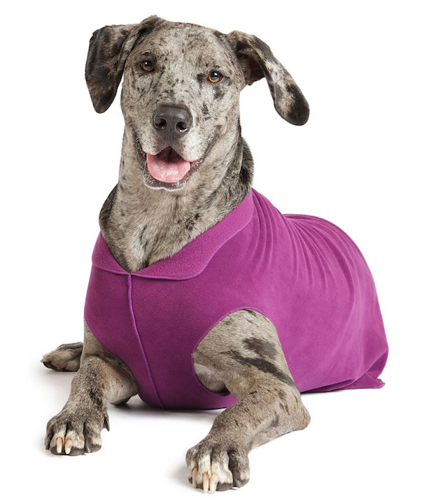 great dane in purple fleece
