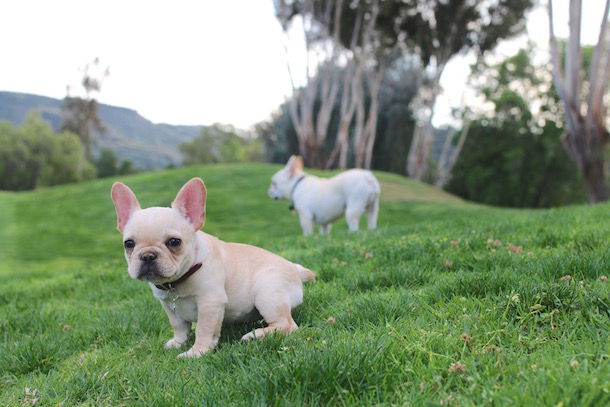 wtfrenchie two white frenchies in a grassy field