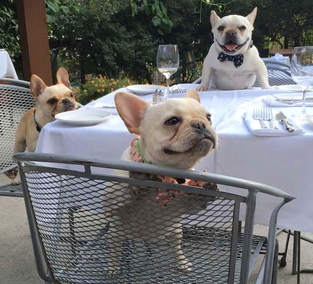 three-Frenchies-at-dinner-table