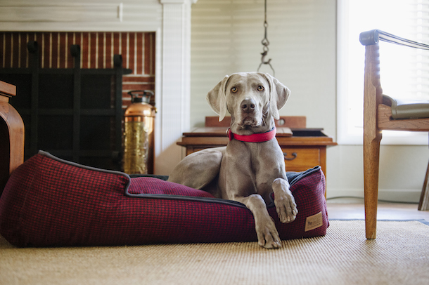 weimeraner-redhoundstooth-bed-PLAY-professional-dog-photography-tips