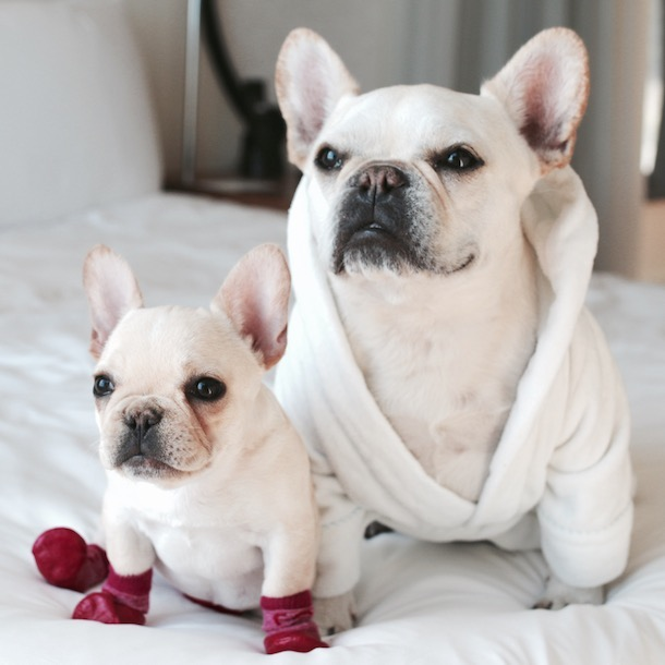 Two white Frenchies in robes