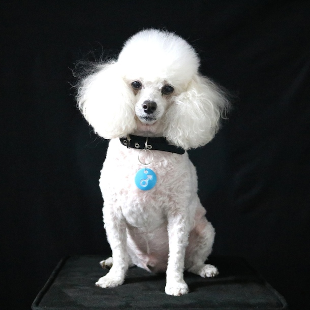white dog against a black background wearing blue boy or girl tag