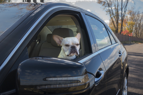 dog-friendly-new-york-rene-charles-car