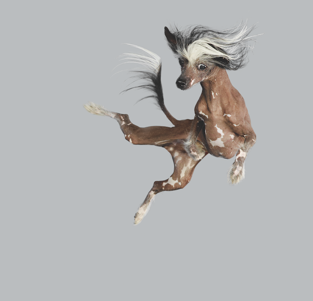 chinese-crested-flying-dog-book