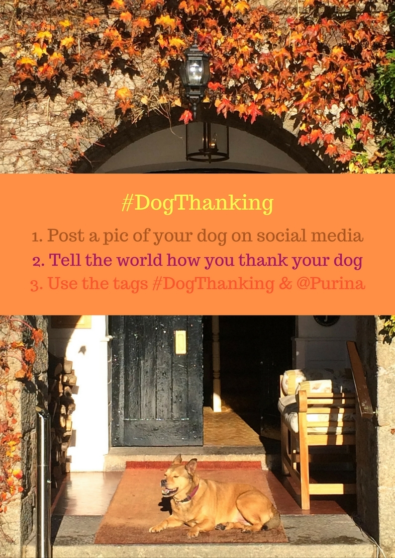 dogthanking-purina-thanksgiving-bodie