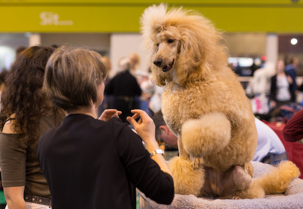 Standard poodle interacting with handler at Crufts 2017