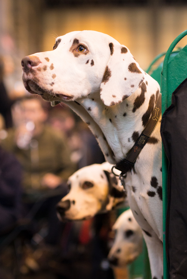3 Dalmatians in the benches at Crufts