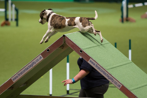 dog agility at Crufts - brown and white dog jumping over a-frame