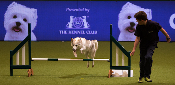 young lad in black running agility with a white dog at Crufts 2017
