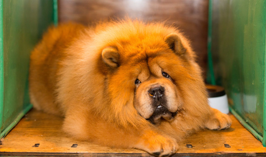 chow chow at crafts 2017