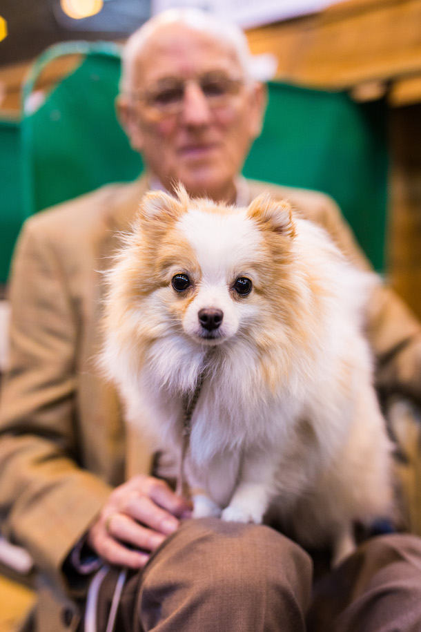 long haired chihuahua on old man's knee at Crufts