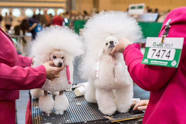 Two white toy poodles are groomed by handlers wearing pink jackets at Cruft 2017