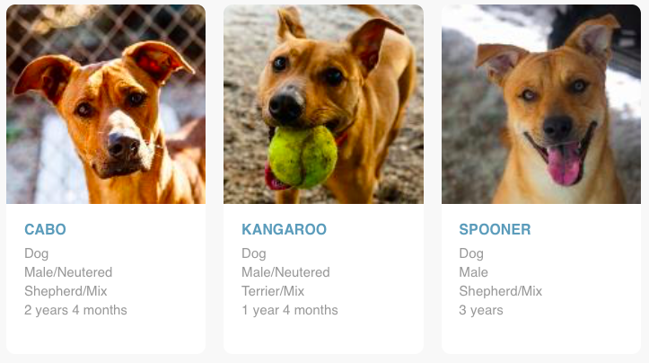 These 3 currently available rescues from PAWS Atlanta remind me of Bodie...